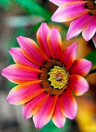 Ganzanias: Flowers Gardens, Green Thumb, Pink Flowers, Gazania Flowers, Colors, Plants, Pastelici Gazania, Beautiful Flowers, Flowersgarden