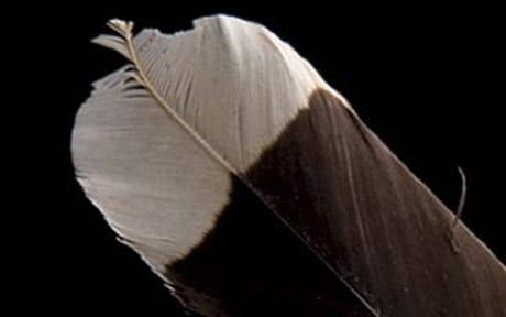 Image result for huia bird feathers