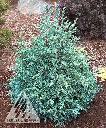 Kigi Nursery - Chamaecyparis pisifera ' Baby Blue Ice ' Dwarf Sawara Cypress, $15.00 (http://www.kiginursery.com/dwarf-miniatures/chamaecyparis-pisifera-baby-blue-ice-dwarf-sawara-cypress/)