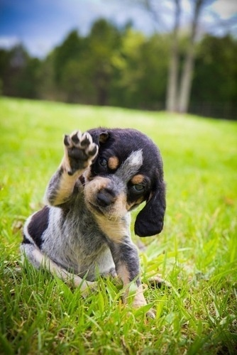 Bluetick Coonhound Dog / Grand Bleu de Gascogne...I want to stop pinning these pictures but they are just so cute!!!
