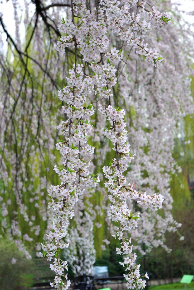 Prunus subhirtella pendula - wiśnia różowa zwisająca