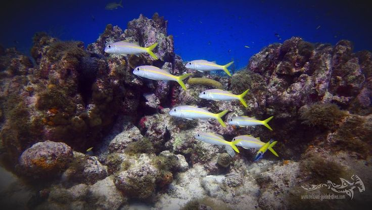 Goatfish along the reef of Curacao .. #tauchen #diving #duiken #fun #curacao #relaxedguideddives #scuba #scubadiving #travel #explore #cressi #oceanreef #padi