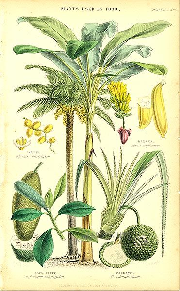 Date Palm, Banana Palm, Jack Fruit, Pandanus:  Genuine antique print of Plants used as food from Vegetable Kingdom by William Rhind