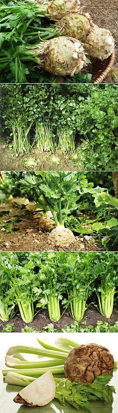(+1) тема - Все ли вы знаете о выращивании сельдерея?   6 соток