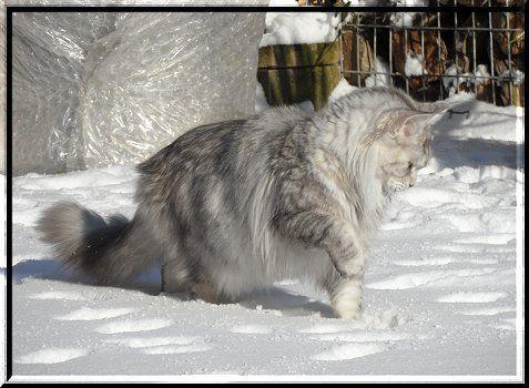 #MaineCoon #Black #Torty #Silver #Mackerel #Cats Chenango's Gotta Love It