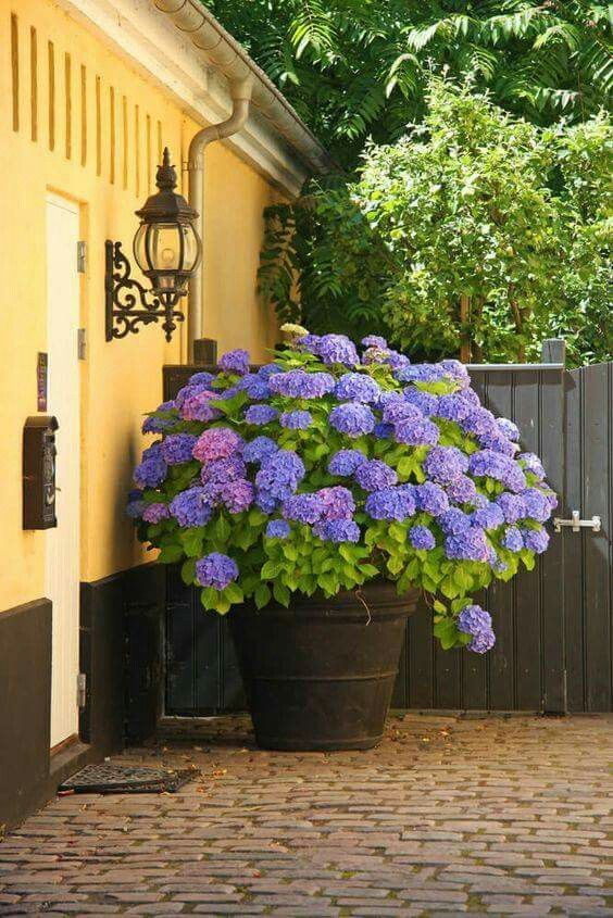 Yellow house, purple hydrangea.