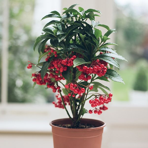 Buy coral berry Ardisia crenata 'Bospremium red': Delivery by Crocus