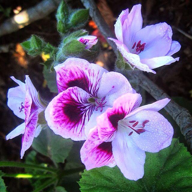 Flores en parque de Playa del Sol, Viña del Mar #flores #ViñadelMar # flowers  Cámara Canon powershot 550SD modo macro (MMM)  2014