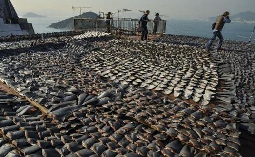 A Hong Kong, des milliers d'ailerons de requins mis à sécher sur un toit