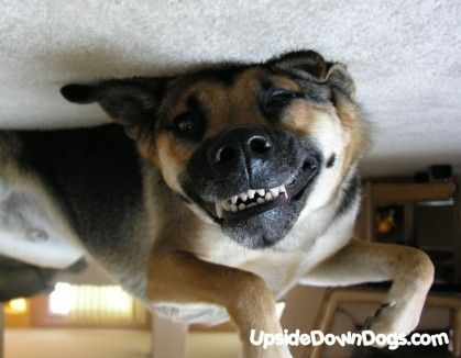 German shepard. my dog looks like this upside down and he looks so scary!