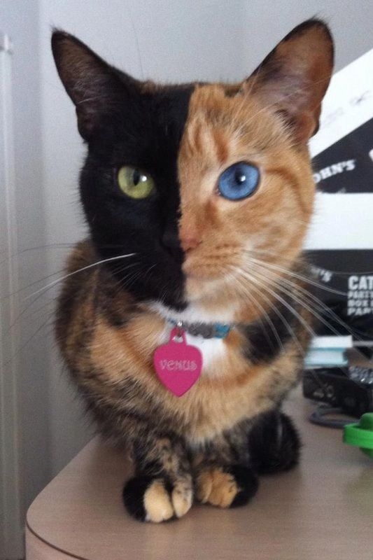 This is Venus, she's a Chimera cat and technically, her own twin! She's the result of four parent cells (two fertilized eggs or two embryos fused together). The two separate organisms had already started to develop, so that's why some features of both remained in this one amazing kitty! FREAKING SWEEEET!!!!