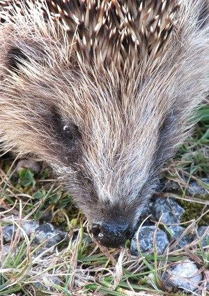 Hedgehogs eat as much as they can in autumn to build up good fat reserves for hibernation (Photo: WTML)