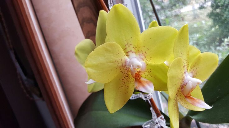 Green yellow pink orange Orchid flower