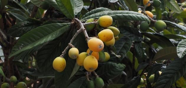 الأسكدنيا فوائد أوراق شجرة الأسكدنيا فوائد الأسكدنيا المراجع الأسكدنيا الأسكدنيا أو الأكيدنيا أو المشمش الهندي هي فاكهة Loquat Tree Japonica Seedlings