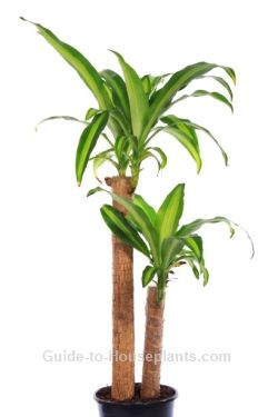 corn plant, dracaena fragrans, indoor house plants, common house plants ~ how to trim the top