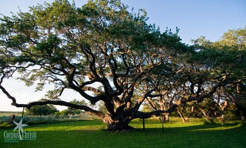 Big Tree in Goose Island State Park - Corpus Christi, Texas  Historical Treasure for TX - thought to be over 1000 years old.