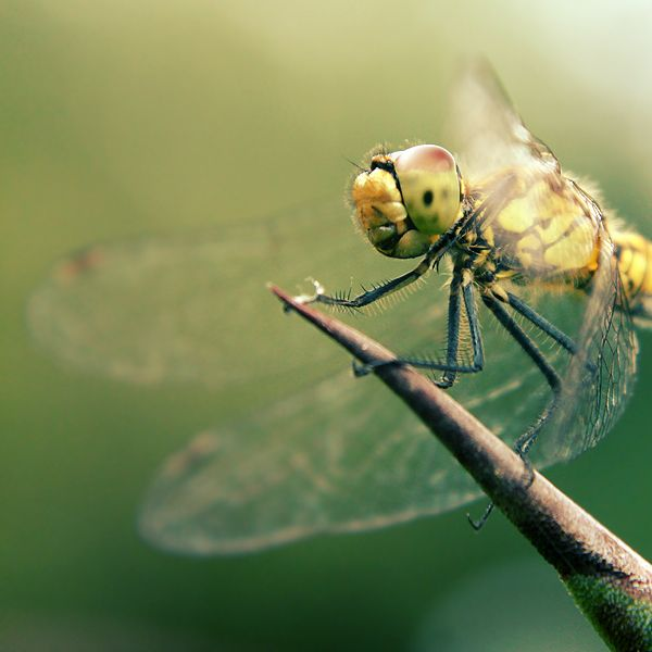 dragonfly #dragonflyWallpapers Art, Skin Art, Dragonflies Summer, Digital Art, Blackroseshadow Deviantart Com, Art Prints, Dragonflies Dragonflies, Traditional Art, Brows Deviantart