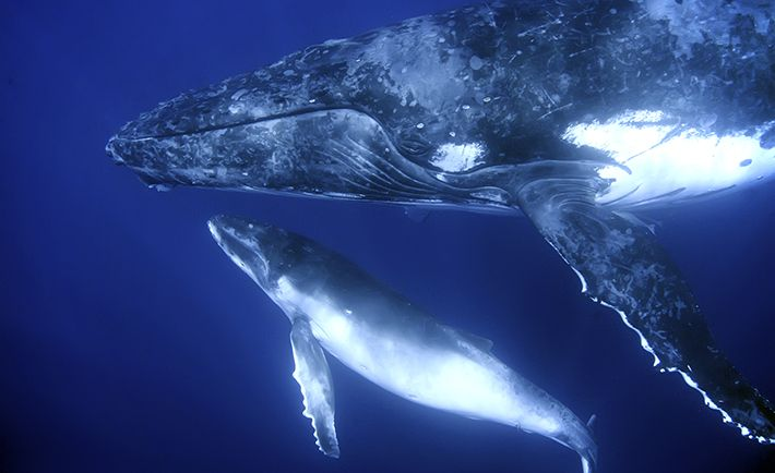 WhaleAndCalf;   NOAA is working on a plan that could limit manmade noise undersea — and reduce the destruction it leaves in its wake. Reuters reports that NOAA is working on a 10-year plan scheduled to be released later in 2016 that will instate legal limits to the U.S.'s contributions to ocean noise, as well as collect important data that monitors how noise affects marine life.