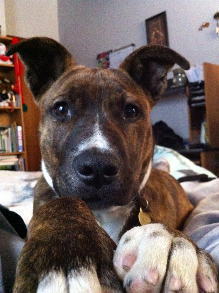 Pitbull boxer mix. Maybe chief and kohl really are pitbull boxers!!