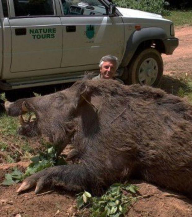 Le plus gros sanglier du monde pèse plus de 350 kg !