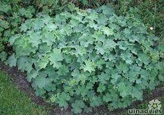 Alchemilla mollis of Vrouwenmantel mooie vaste plant als bodembedekker,  Bloeimaand: mei/september. Hoogte:30-40 cm. Bladverliezend. Winterhard Standplaats: Zon, half schaduw