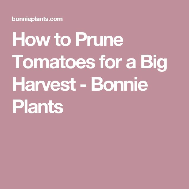 How to Prune Tomatoes for a Big Harvest - Bonnie Plants