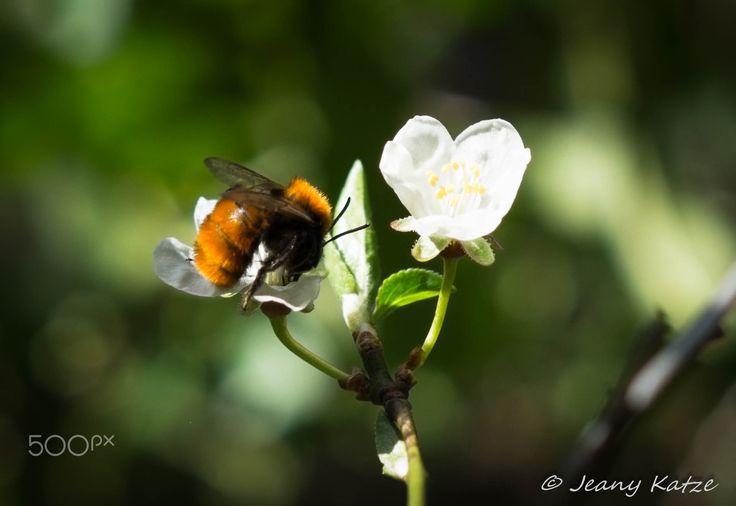 """Rotpelzige Sandbiene - Tawny Mining-Bee - """"Andrena fulva"""" zu deutsch """"Rotpelzige Sandbiene"""" oder im englischen """"Tawny Mining-Bee"""" gehört zu den Wildbienen und war ebenfalls an meinem Mirabellenbaum zu finden. Auch wenn sie sehr flauschig ist, ist es keine Hummel, sondern eine Wildbiene bzw eine Soltärbiene, d.h. sie bilden keinen Staat wie unsere domestizierten Honigbienen, sondern sind Singles. Nach der Paarung legen sie im schnitt bis zu 3 Nester im Boden an, in denen jeweils ein Ei…"""