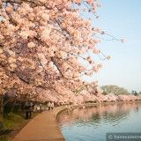 wpid3681-Cherry-Blossoms-Along-the-Waterfront-01-COPYRIGHT.jpg
