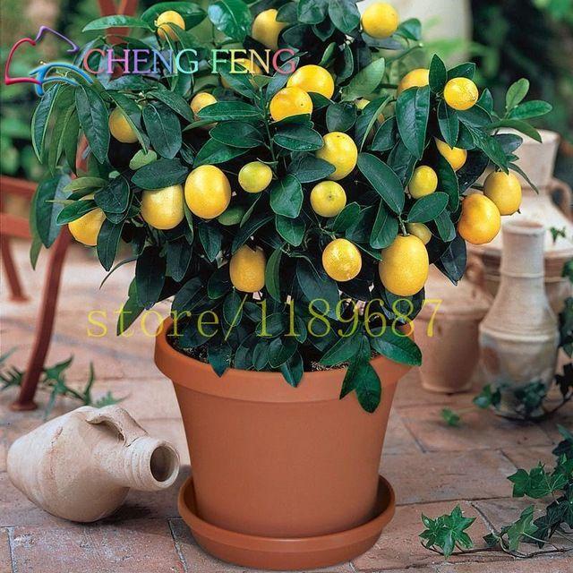 10 единиц / мешок семян Лимонное дерево истинные высокий уровень выживания мандарин Бонсай Крытый редкие фрукты семян домашнего сада балкон горшечные растения