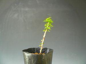 盆栽素材苗木八房富士桜270407-7