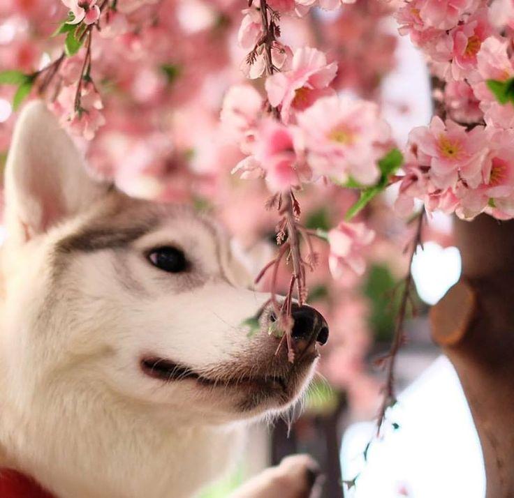 Oh Sakura