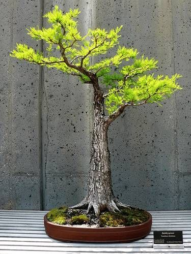 A POWERFUL dawn redwood bonsai tree! See more bonsai trees at http://www.nurserytreewholesalers.com/