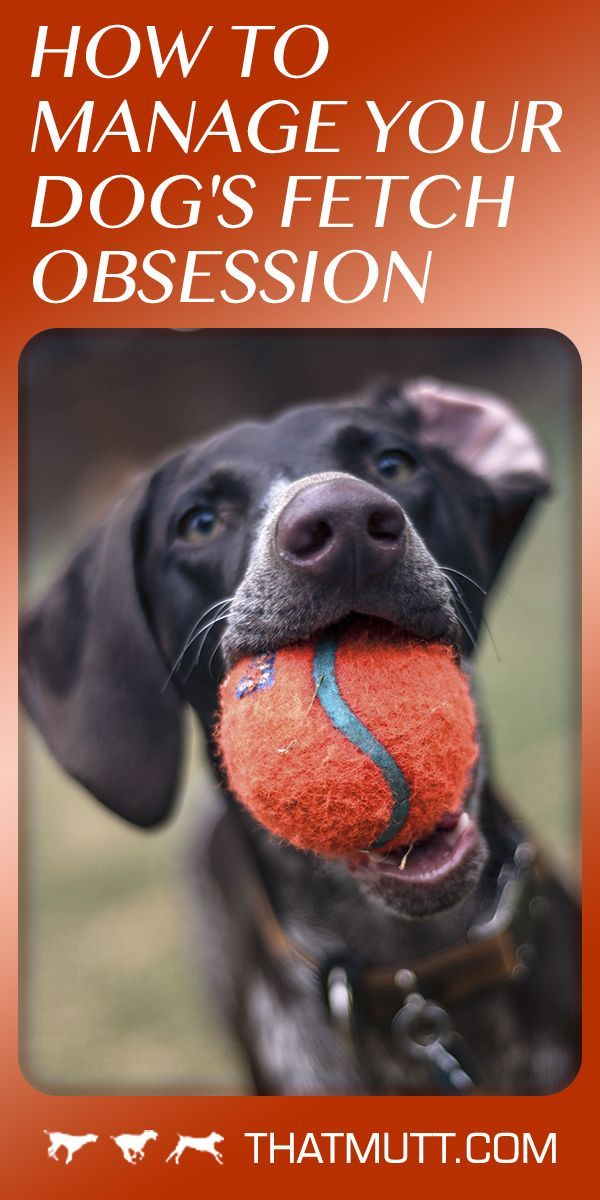 How To Manage A Dog Obsessed With Ball Dog Training Dog