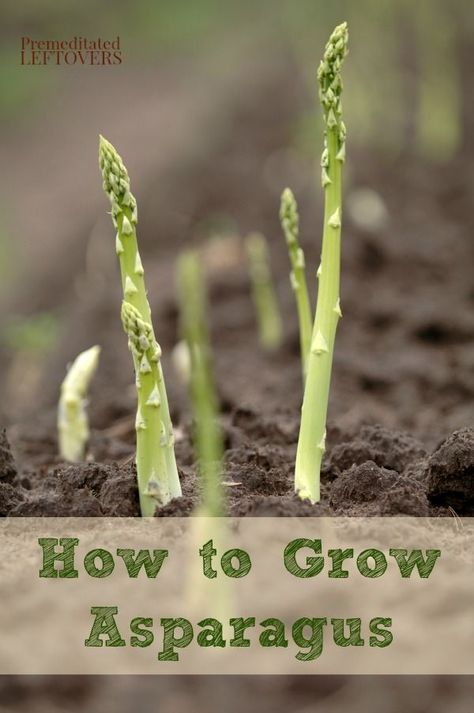 How to Grow Asparagus in Your Garden, including how to plant asparagus bulbs, how to care for asparagus crowns, how to harvest asparagus, and more tips.