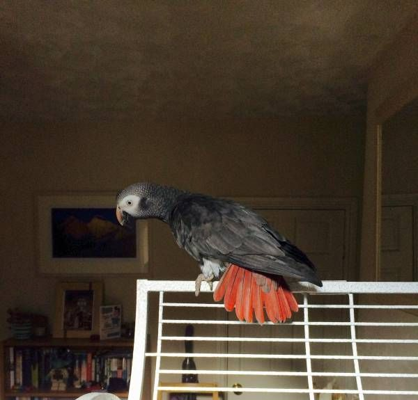 LOST AFRICAN GREY: 18/09/2016 - Barnton, Cheshire West and Chester, England, United Kingdom. Ref#: L26501 - #ParrotAlert #LostBird #LostParrot #MissingBird #MissingParrot #LostAfricanGrey #MissingAfricanGrey