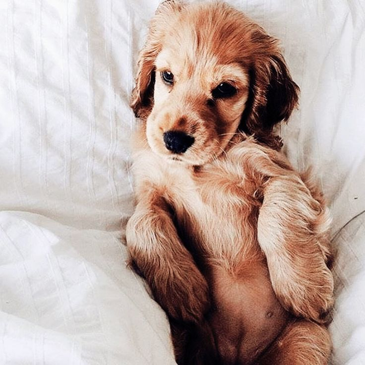 Golden Retriever Puppy Animals Puppies Dogs And Puppies