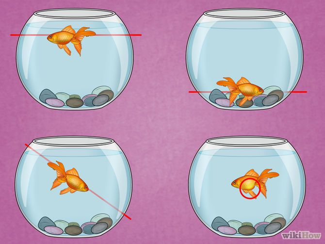 how to tell male from female goldfish