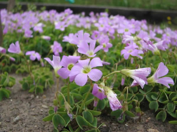 "Oxalis-violacea-Violet-Wood-Sorrel. 4"" tall, full to partial sun, dry soil conditions."