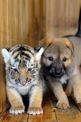 A puppy finds an unlikely friend in a tiger cub.