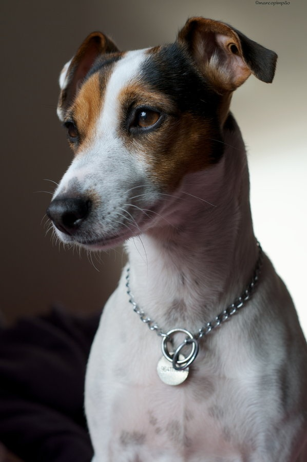 1000+ ideas about Parson Russell Terriers on Pinterest ... | 598 x 900 jpeg 100kB