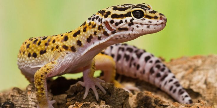 Healthy Leopard gecko behaviour The health and wellbeing of our pets should be any keeper's highest priority, but how do we know when our beloved pet Leopard gecko is unhappy or or not feeling well?  http://www.leopardgeckos.co.za/healthy-leopard-gecko-behaviour/