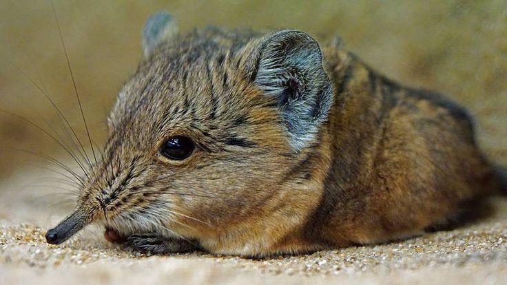 """Eine Maus mit einem Rüssel? Ja, die gibt es und nennt sich """"Rüsselspringer"""". In freier Wildbahn kommen die Tiere in Afrika vor, zu sehen gibt es sie aber auch bei uns in Deutschland - wie hier im Augsburger Zoo."""