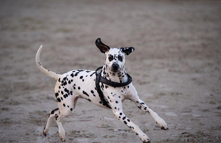 Dalmatian 2 Photograph by Martin  FF