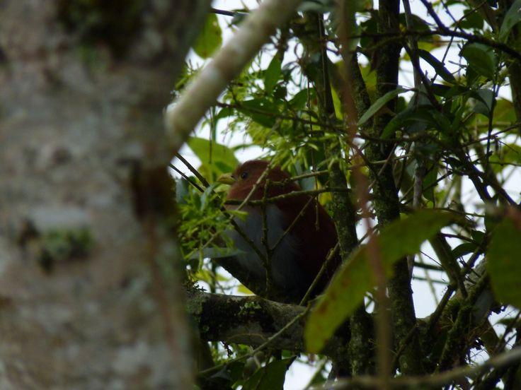 Cucoardilla ( Piaya cayana) en la Finca Villadiosa, Oriente Antioqueño, Colombia. Tratando de esconderse de la lente.