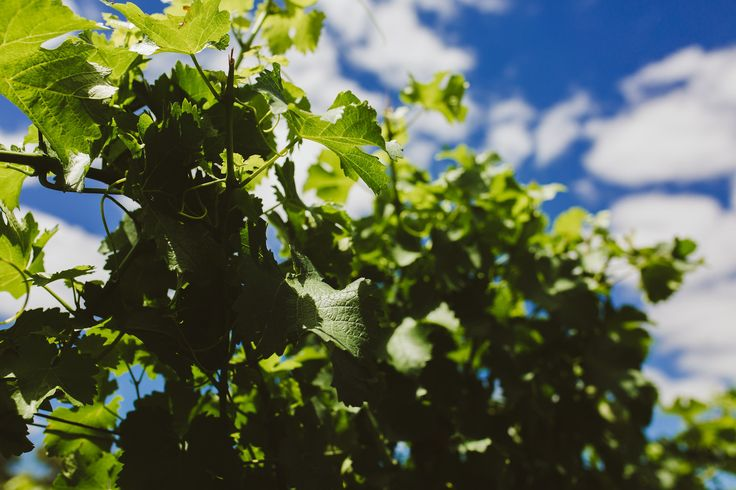 Immerse's Vines in Summer