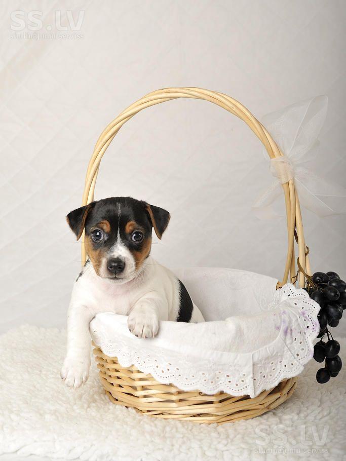 Собаки, щенки Джек Рассел терьер, цена 450 €, Фото