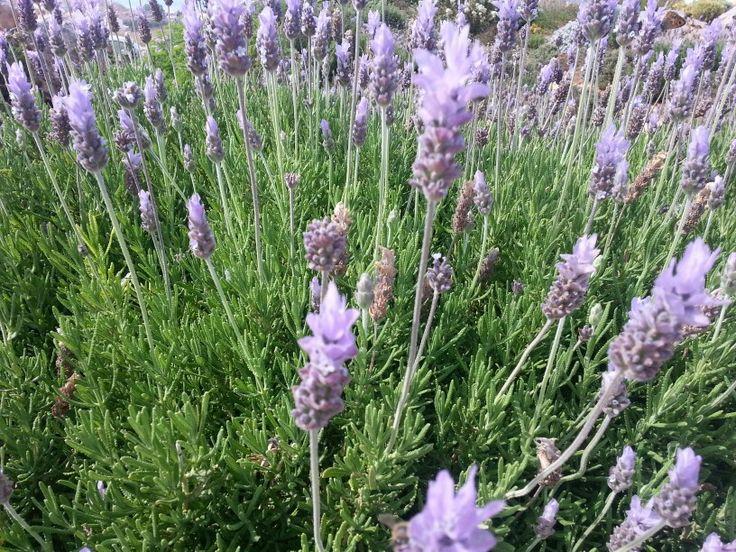 Lavender,  λεβάντα