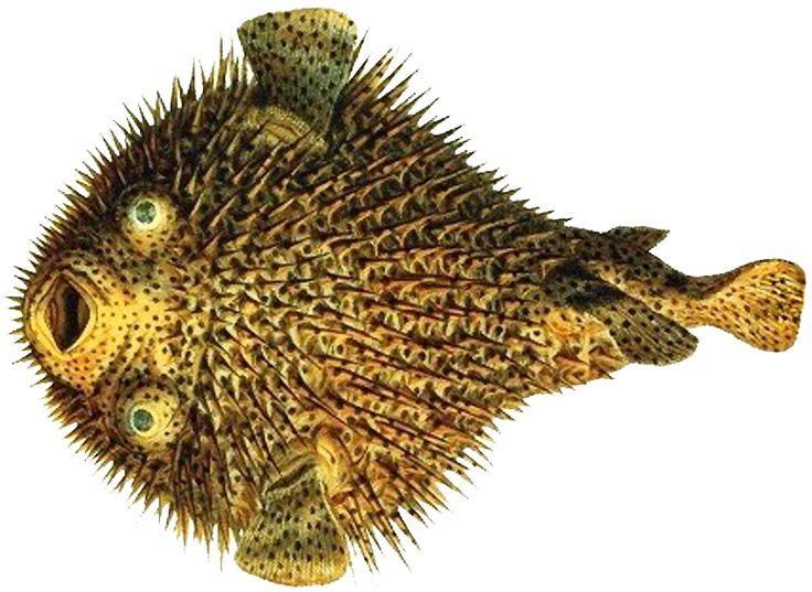 Albertus seba puffer fish natural oddities for Puffer fish art