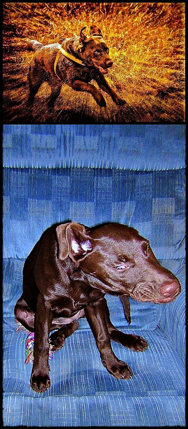 Labrador For Sale Essex It S Time You A Labradorasapet