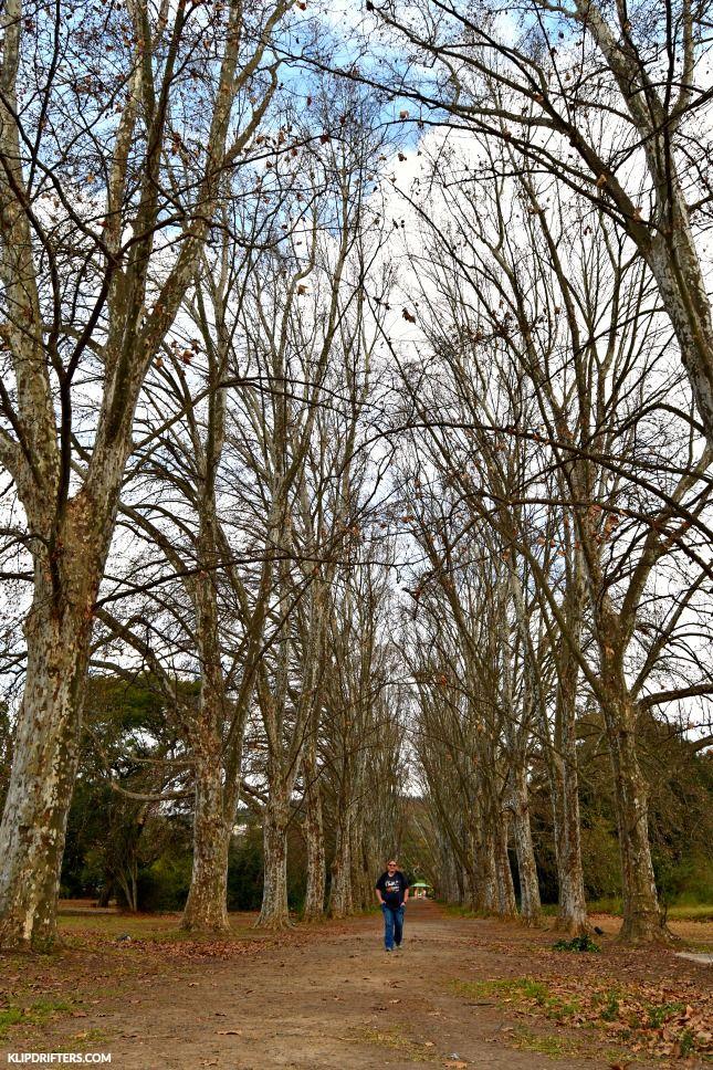 KwaZulu-Natal Botanical Gardens, Pietermaritzburg, plane tree avenue, Trees, walking, walk, South Africa